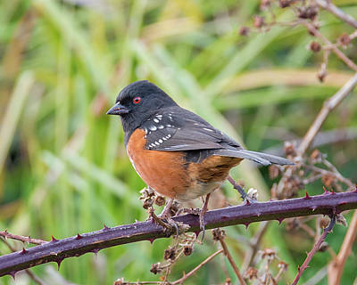 Photograph - Spotted Towhee In The Brambles by Loree Johnson