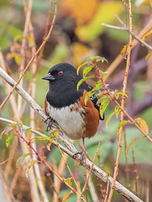Photograph - Spotted Towhee by Loree Johnson