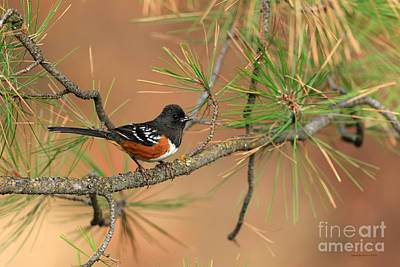 Spotted Towhee Print by Beve Brown-Clark Photography