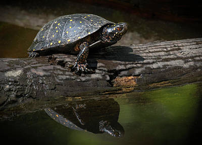 Photograph - Spotted Turtle Reflection by Art Cole