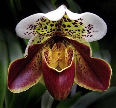 Photograph - Spotty Orchid by Nancy Griswold