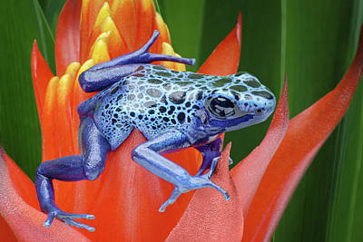 Photograph - Sprawled - Poison Dart Frog by Nikolyn McDonald