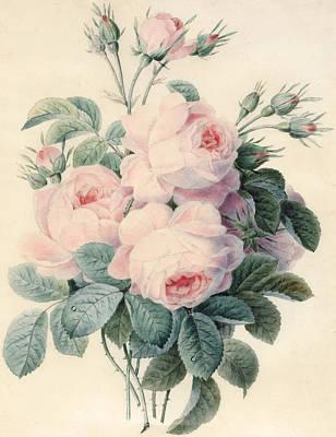 Spray Of Centifolia Roses Art Print by J Herzog