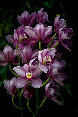 Photograph - Spray Of Cymbidium Orchids by Julie Palencia