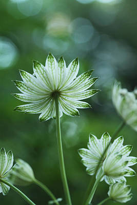 Astrantia Photograph - Botanica .. Spray Of Light by Connie Handscomb