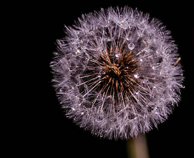 Sprayed Dandelion Art Print by Martin Newman