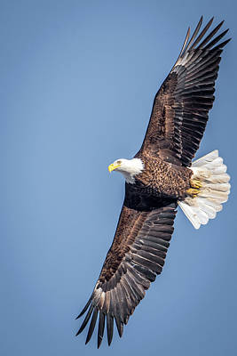Photograph - Spread Eagle Eagle by Paul Freidlund