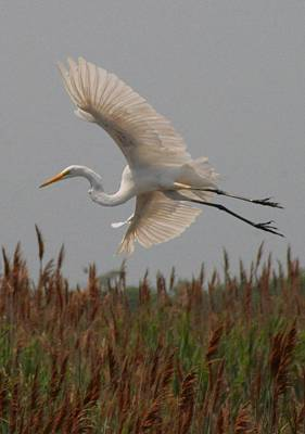 Photograph - Spread Egret And Reeds by Christopher Kirby
