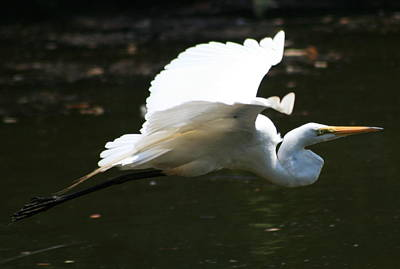 Photograph - Spread Egret by Christopher Kirby