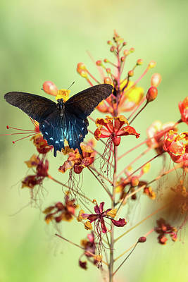 Blue Swallowtail Photograph - Spread Your Wings At Dawn  by Saija Lehtonen