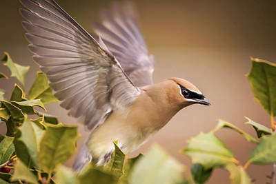 Cedar Waxing Photograph - Spread Your Wings Cedar Waxwing  by Terry DeLuco