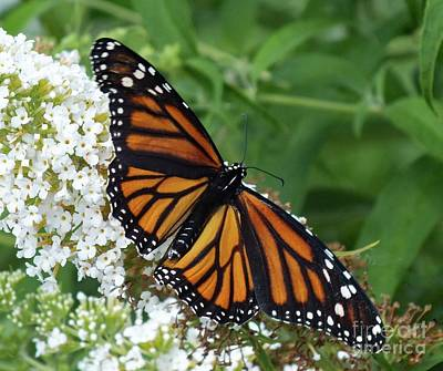 Animals Royalty-Free and Rights-Managed Images - Spreading Her Wings - Monarch by Cindy Treger