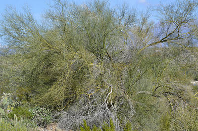 Photograph - Spreading Palo Verde Splendor by Lynda Lehmann