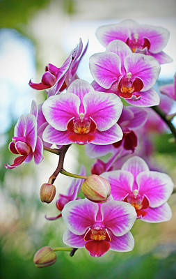 Photograph - Sprightly Moth Orchids  by Cate Franklyn