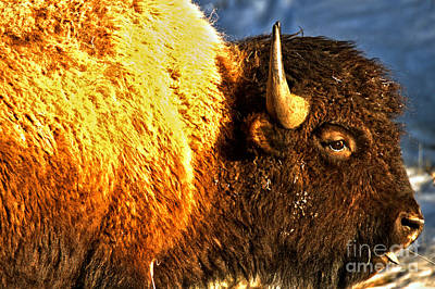 Photograph - Spring 2018 Bison Closeup by Adam Jewell