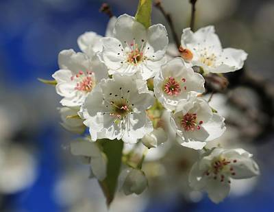 Photograph - Spring And Pear Blossoms by Lynn Hopwood