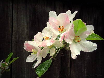 Photograph - Spring Apple Blossoms 2017 by Joyce Dickens