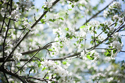 Photograph - Spring Apple Blossoms by Robert Clifford
