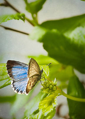 Azure Photograph - Spring Azure Butterfly by Maggie Terlecki