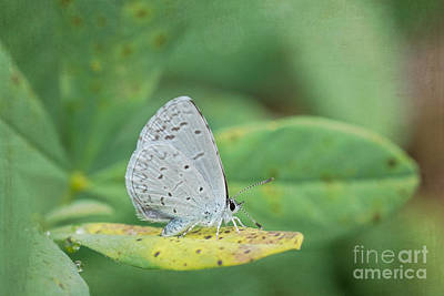 Photograph - Spring Azure Butterfly by Marianne Jensen