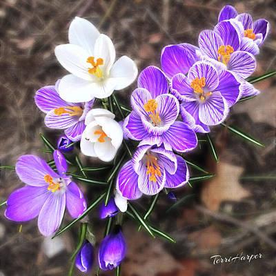 Photograph - Spring Beauties by Terri Harper