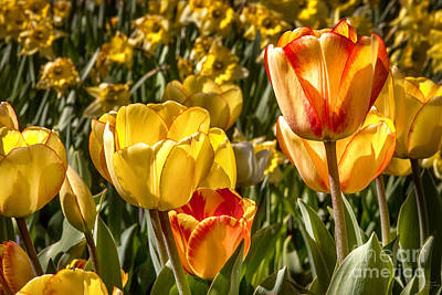 Blossoms Photograph - Spring Beauty 1 Tulips Large Canvas Art, Canvas Print, Large Art, Large Wall Decor, Home Decor, by David Millenheft