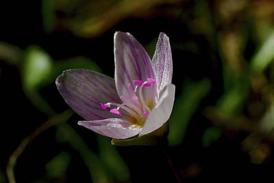 Photograph - Spring Beauty by Brad Chambers