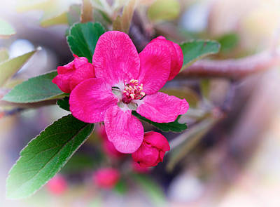 Rosaceae Photograph - Spring Beauty by Mary Lee Dereske