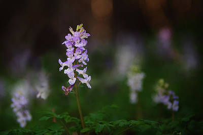 Photograph - Spring Beauty Wildflower by Edoardo Gobattoni