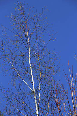 Photograph - Spring Birch And Sky by Mary Bedy