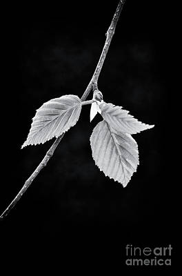 Photograph - Spring Birch Leaves by Tim Gainey