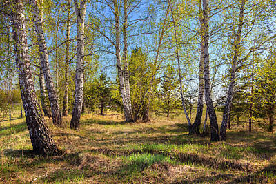 Photograph - Spring Birch Trees by Victor Kovchin