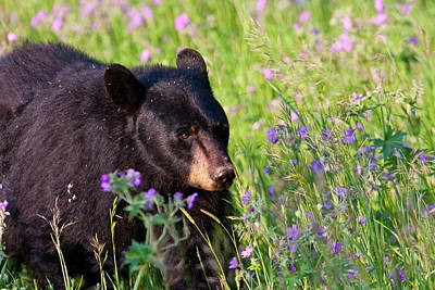 Photograph - Spring Black Bear by Mark Miller