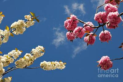 Photograph - Spring Bloom by Akshay Thaker- PhotOvation