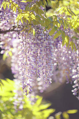 Photograph - Spring Bloom Of Wisteria Sinensis  by Jenny Rainbow