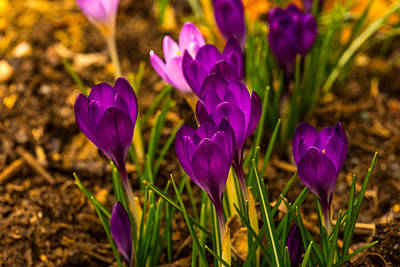 Photograph - Spring Blooms by Karol Livote