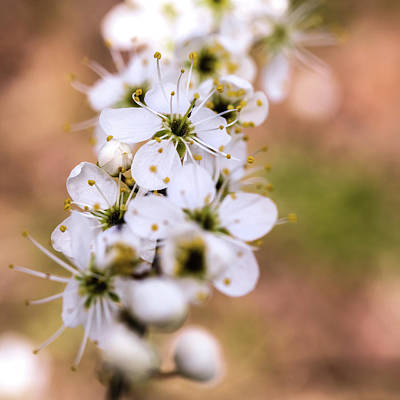 Photograph - Spring Blossom by Nick Bywater