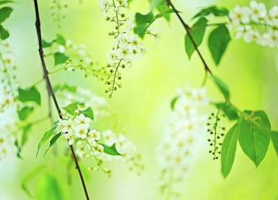 Chokecherry Photograph - Spring Blossom by Oksana Ariskina