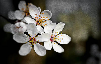 Photograph - Spring Blossoms by Rumiana Nikolova