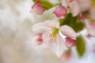 Photograph - Spring Blossom Whisper by Diane Alexander