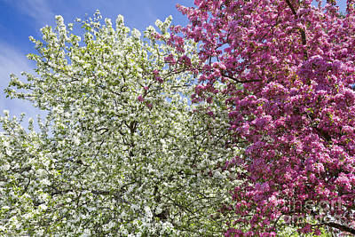 New Years - Spring Blossoms by Alan L Graham