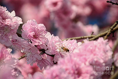 Photograph - Spring Blossoms And A Bee By Kaye Menner by Kaye Menner