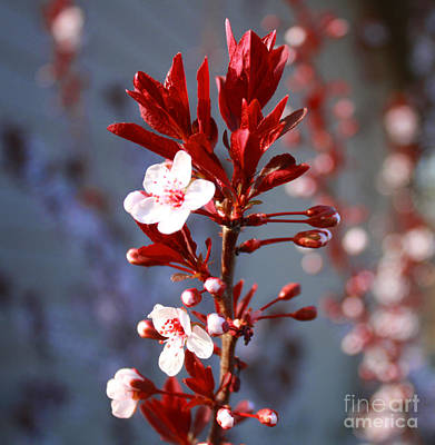 Photograph - Spring  Blossoms by Barbara Dean