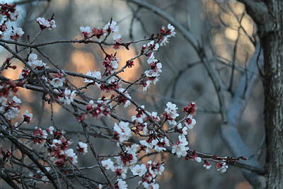 Photograph - Spring Blossoms  by Christy Pooschke