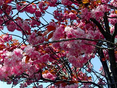 Photograph - Spring Blossoms by George Cousins