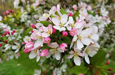 Photograph - Spring Blossoms by Judith Rhue