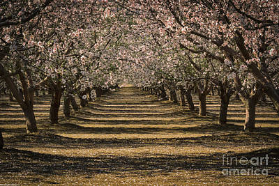 Photograph - Spring Blossoms by Mitch Shindelbower