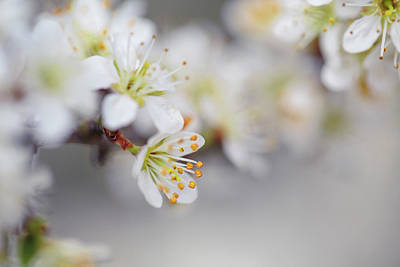 Close-up Photograph - Spring Blossoms by Nailia Schwarz