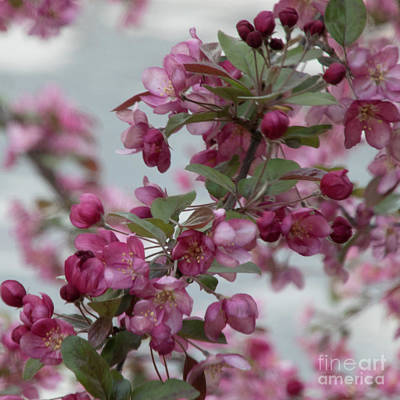 Photograph - Spring Blossoms by PJ Boylan