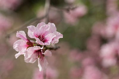 Photograph - Spring Blossoms by Sue Cullumber